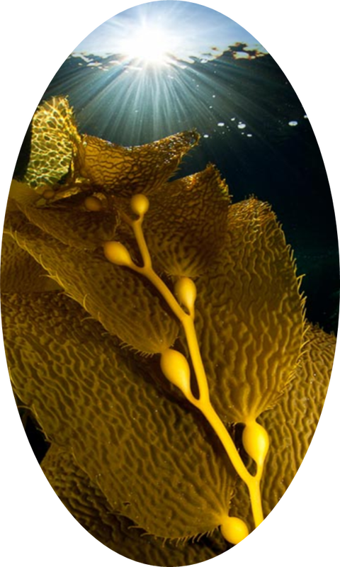 Giant Kelp Living Marine Resources Bio 340 Manual Guide